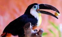 Image of: Ramphastos vitellinus (channel-billed toucan)