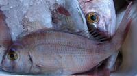 Pagrus pagrus - Common Sea Bream