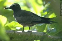 Brown Noddy - Anous stolidus