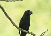 Smooth-billed Ani close-up