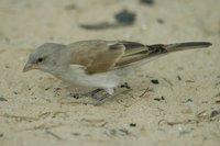 : Passer diffusus; Southern Grey-headed Sparrow