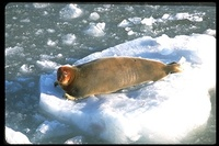 : Erignathus barbatus; Bearded Seal