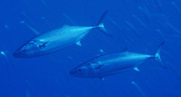 Sarda sarda, Atlantic bonito: fisheries, gamefish