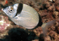 Diplodus vulgaris, Common two-banded seabream: fisheries, gamefish, aquarium
