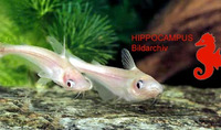 Schilbe mystus, African butter catfish: fisheries, gamefish, aquarium