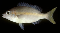 Scolopsis aurata, Yellowstripe monocle bream: fisheries