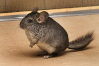 Image of: Chinchilla lanigera (chinchilla)