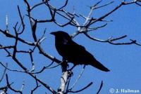 Image of: Corvus ossifragus (fish crow)