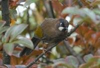 Image of: Garrulax affinis (black-faced laughingthrush)