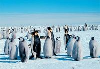 Photo: Emperor penguins