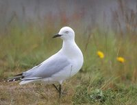 Black-billed Gull (Larus bulleri) photo