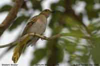 Yellow-spotted Nicator - Nicator chloris