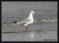 Grey-headed Gull 2