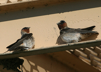 : Hirundo pyrrhonota; Cliff Swallow
