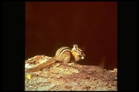 : Tamias amoenus; Yellow-pine Chipmunk