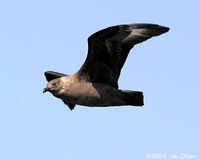 South Polar Skua. Skuas everywhere! 30 September 2006. Photo by Jay Gilliam