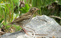 Fig. 17. Olive-backed  Pipit : 힝둥새