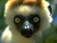 photograph of a sifaka