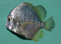 Drepane punctata, Spotted sicklefish: fisheries, aquarium