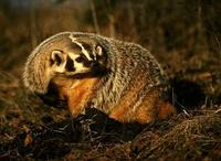Image of: Taxidea taxus (American badger)