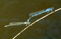 Image of: Zygoptera (damselflies)