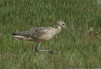 Image of: Numenius americanus (long-billed curlew)