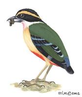 Image of: pitta angolensis (African pitta)