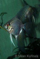 Pterophyllum scalare - Black Angelfish