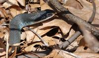 Image of: Coluber constrictor (blue racer)