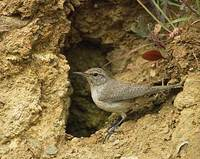 Rock Wren (Salpinctes obsoletus) photo