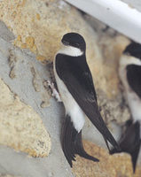 Common House-Martin (Delichon urbica) photo