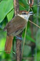White-bearded Antshrike - Biatas nigropectus