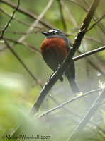 Slaty-backed Chat-Tyrant - Ochthoeca cinnamomeiventris