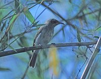 White-gaped Honeyeater - Lichenostomus unicolor