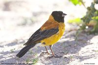 Black-hooded Sierra-Finch - Phrygilus atriceps