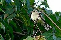 ...Mosqueta Boreal - Traill's Flycatcher, Willow Flycatcher or Alder Flycatcher - Empidonax trailli