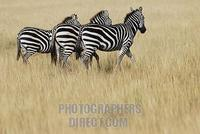 Plains Zebras ( Equus burchelli ) , Masai Mara , Kenya , Africa stock photo