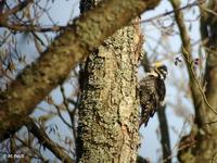 Pic tridactyle Picoides tridactylus Three-toed Woodpecker © Philippe Pulce