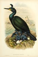 Richter after Gould Crested Cormorant, or Shag (Phalacrocorax graculus)