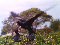 : Fregata minor palmerstoni; Great Frigatebird Male And Female