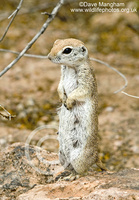 : Spermophilus tereticaudus; Round-tailed Ground Squirrel
