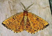 Angerona prunaria - Orange Moth