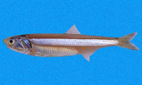 Anchoa ischana, Gulf of California slender anchovy: fisheries