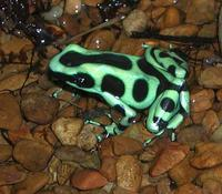 Image of: Dendrobates auratus (green and black poison dart frog)