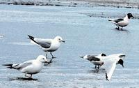 Image of: Larus pipixcan (Franklin's gull), Larus delawarensis (ring-billed gull)