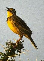 Image of: Macronyx croceus (yellow-throated longclaw)