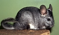 Chinchilla lanigera - Long-tailed Chinchilla
