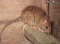 Rattus rattus - Black Rat