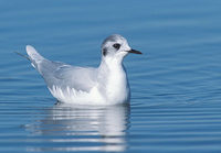 Little Gull (Larus minutus) photo