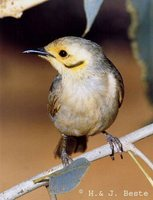 Yellow-tinted Honeyeater - Lichenostomus flavescens